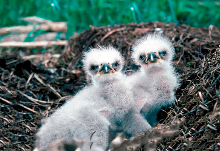 Птенцы гарпии большой в гнезде