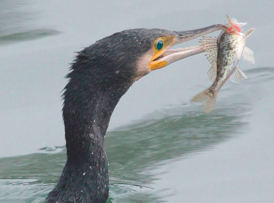 Большой баклан с рыбой