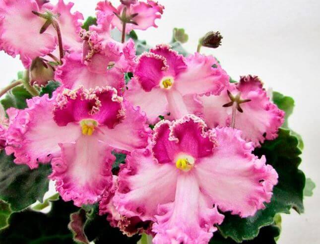 Розовые цветы сенполии