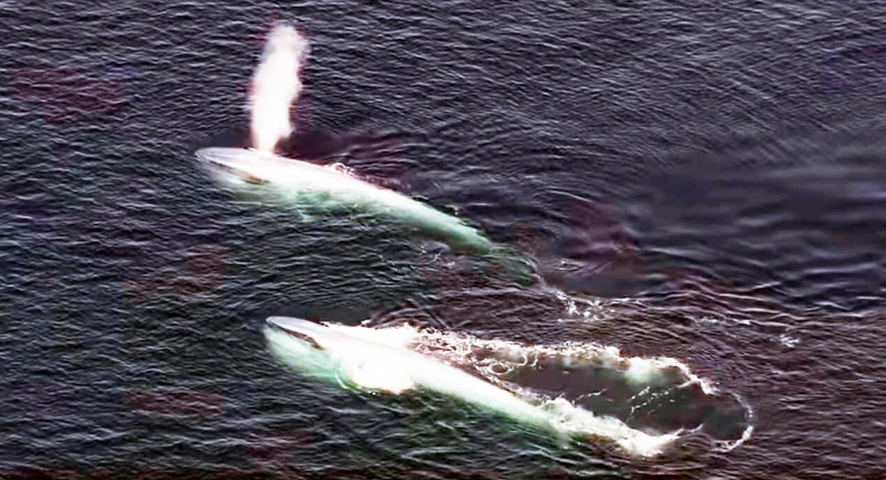 Пара синих китов