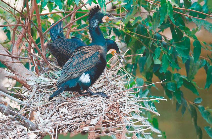 Гнездо большого баклана