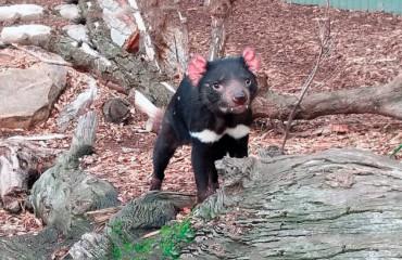 Тасманийский сумчатый дьявол