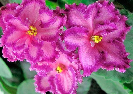 Фото цветущей сенполии