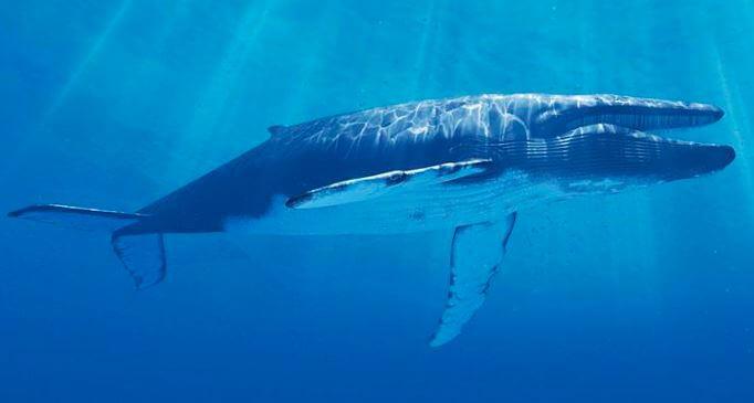 Синий кит (Balaenoptera musculus) фото