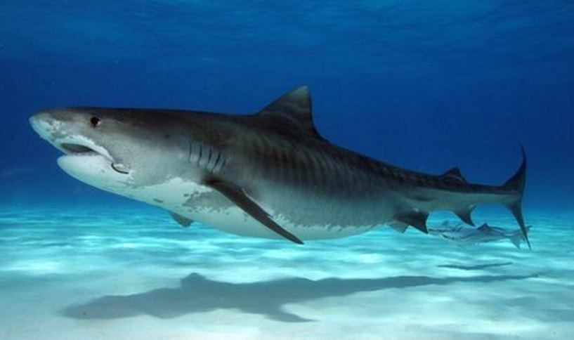 111 Тигровая акула