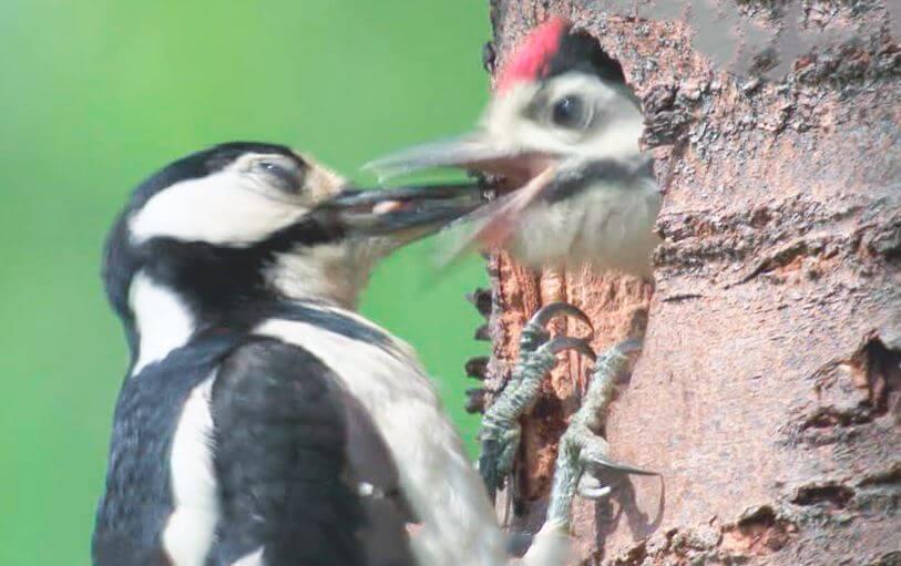 Кормление птенцов большим пестрым дятлом