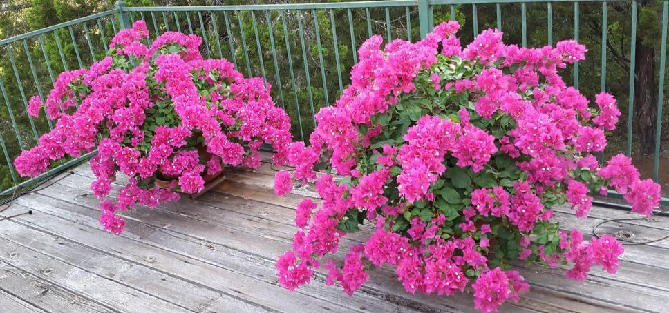 Вазоны с бугенвиллеей на балконе