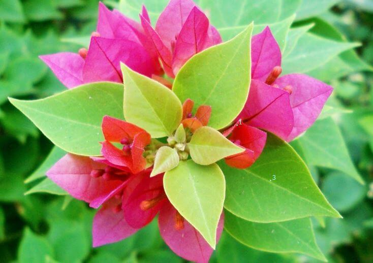Фото цветущей бугенвиллеи