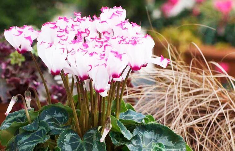 Фото цветка цикламена