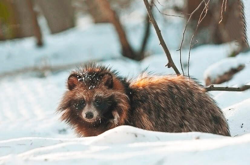 Прогулка енотовидной собаки по снежному лесу