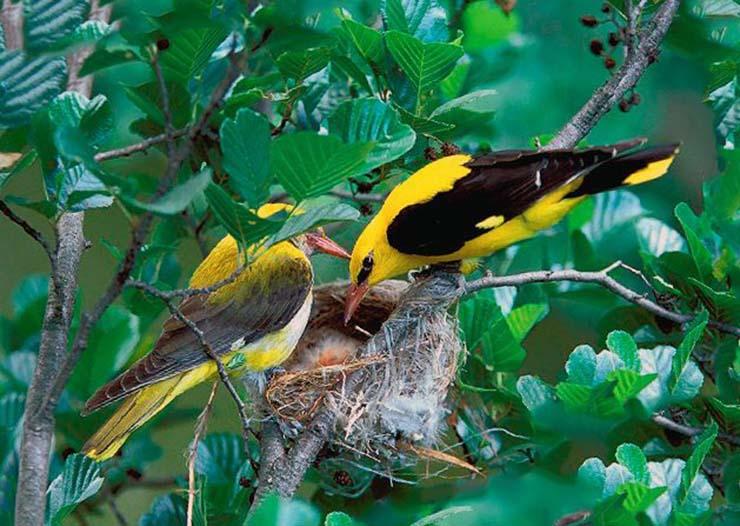 Иволга обыкновенная сооружает гнездо