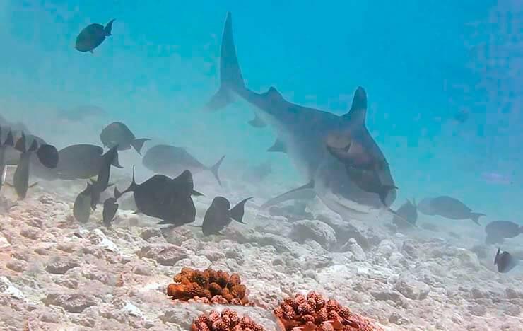 Плывущая тигровая акула