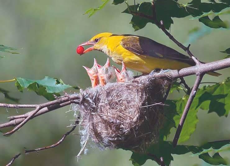 Кормление птенцов иволгой обыкновенной