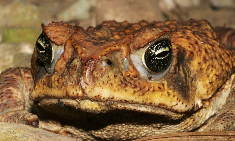 Мордочка жабы-ага