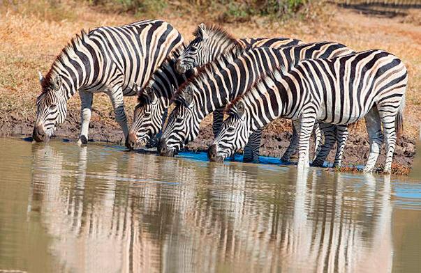 Водопой зебр саванных