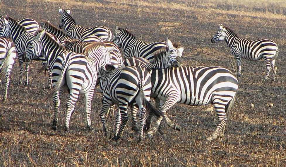 Стадо зебр саванных
