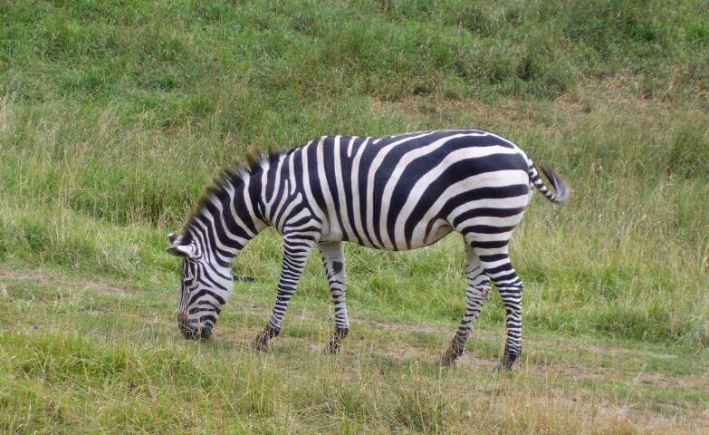 Зебра саванная фото
