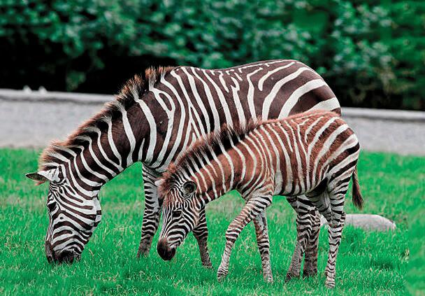 Самка саванной зебры с детёнышем