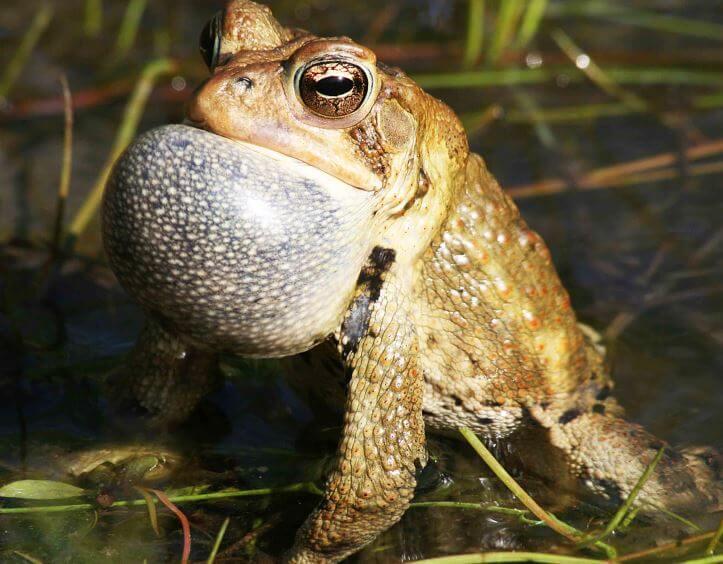 Самец жабы-ага