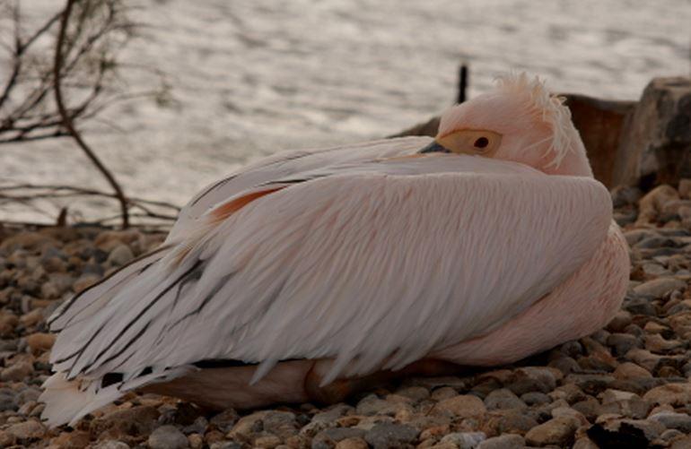 17 Пеликан розовый