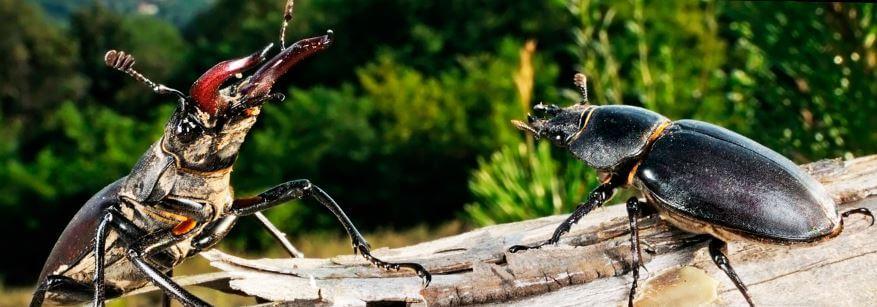 Турниры жуков-оленей