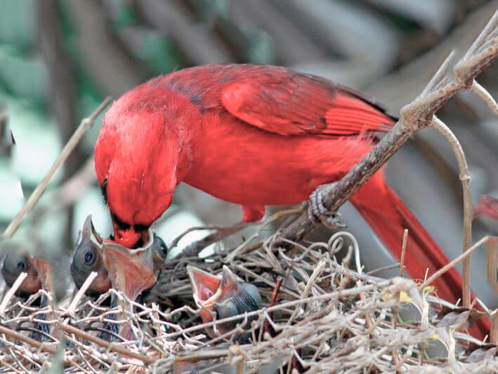 Гнездо красного кардинала