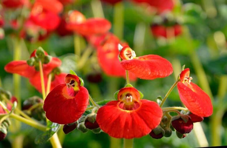 Фото красных цветов кальцеолярии
