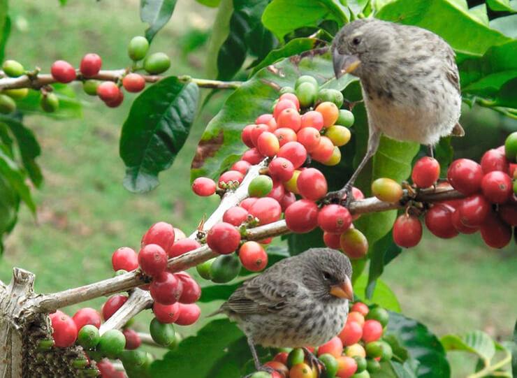 Кофейное дерево фото