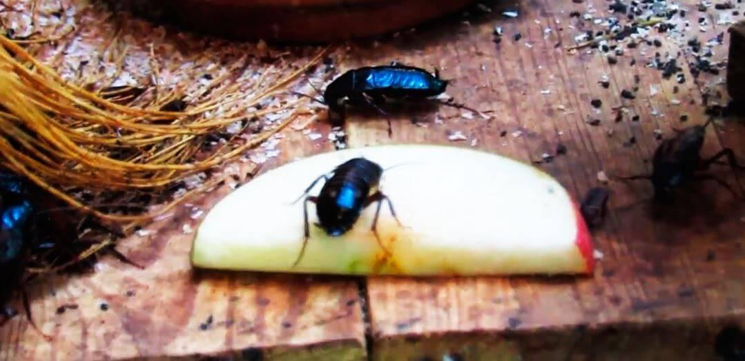 Поедание яблока тараканом черным