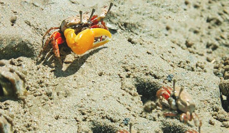 Крабы манящие на песке