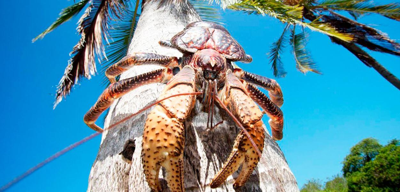 Краб пальмовый вор отправляется за кокосом
