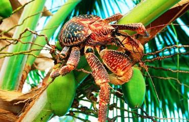 Краб пальмовый вор