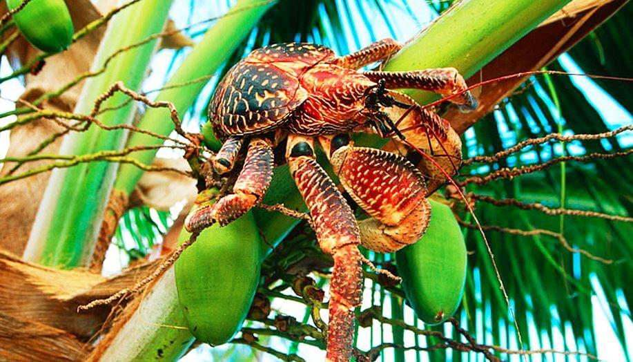 krab palmovyy vor v listyah Краб пальмовый вор