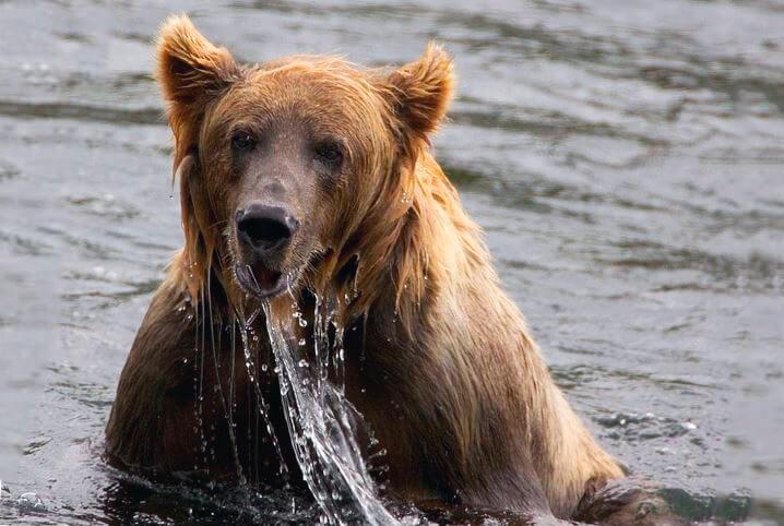 Купание медведя бурого евразийского