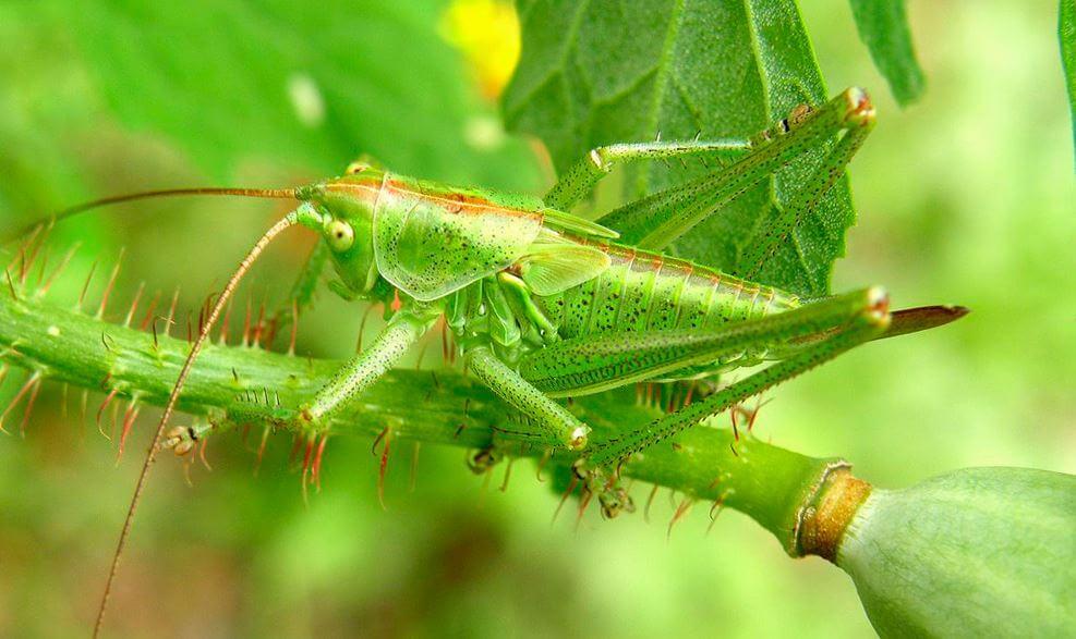 Зелёный кузнечик передвигаются вверх
