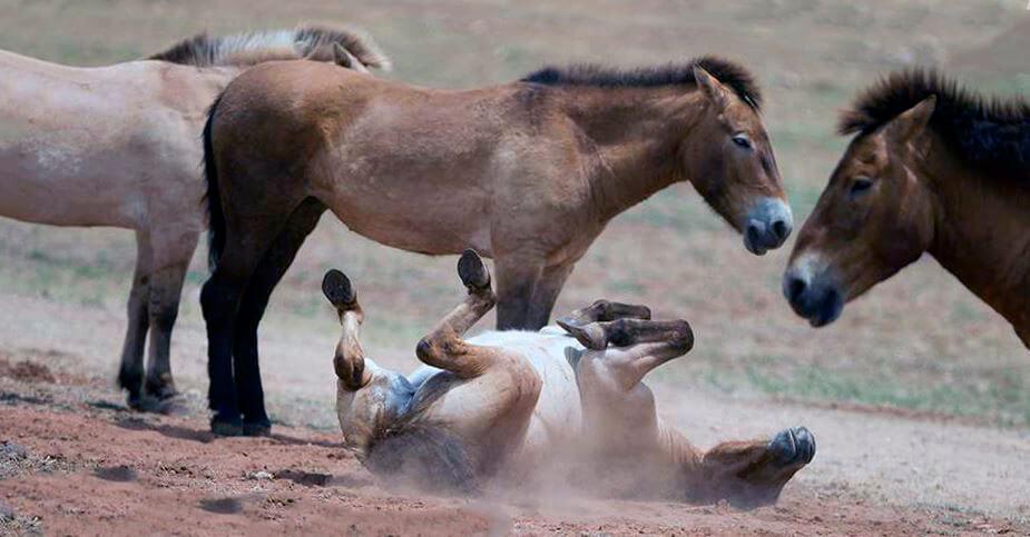 Игривые лошади Пржевальского