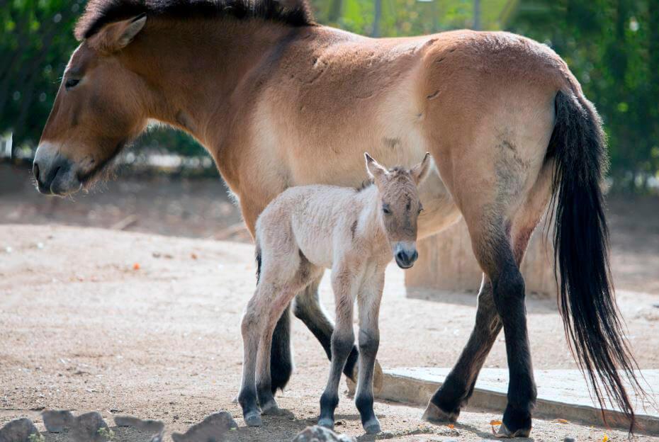 Лошадь Пржевальского с ребёнком