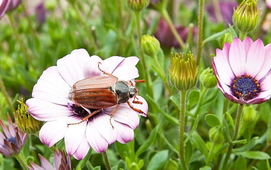Опыление цветка майским жуком