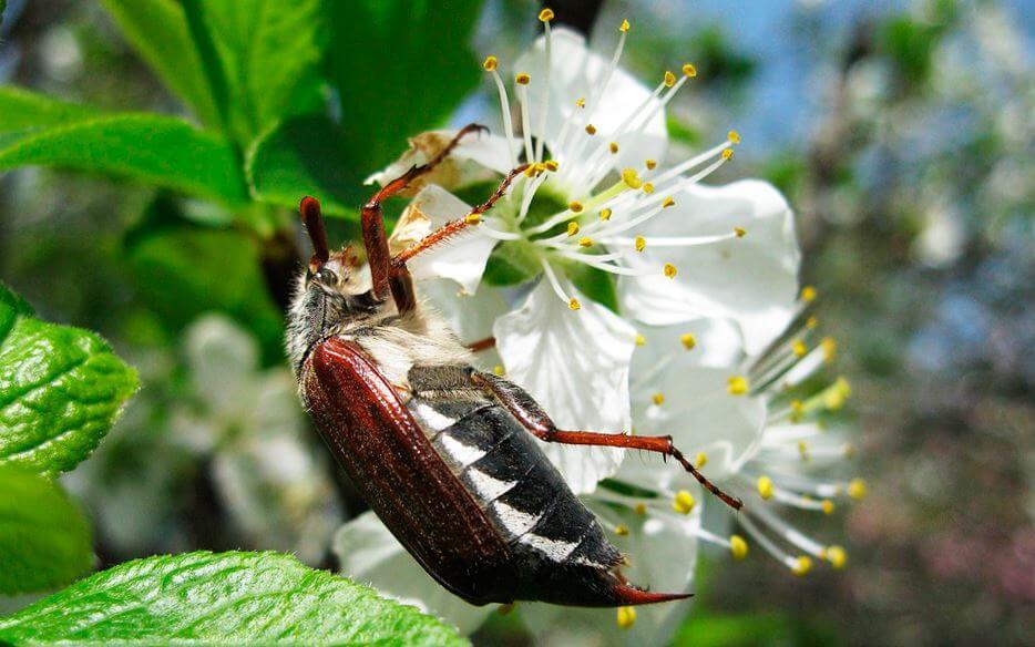 Майский жук на цветущем дереве