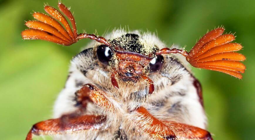 Мордочка майского жука