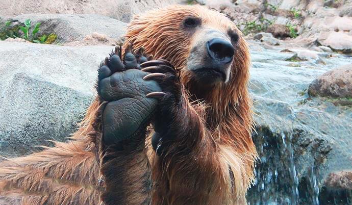 Медведь бурый евразийский среди скал