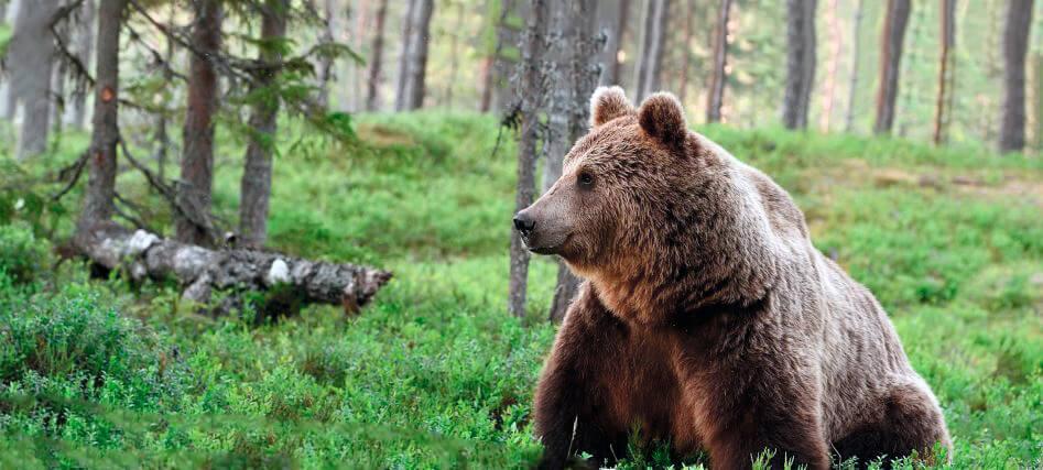 Медведь бурый евразийский