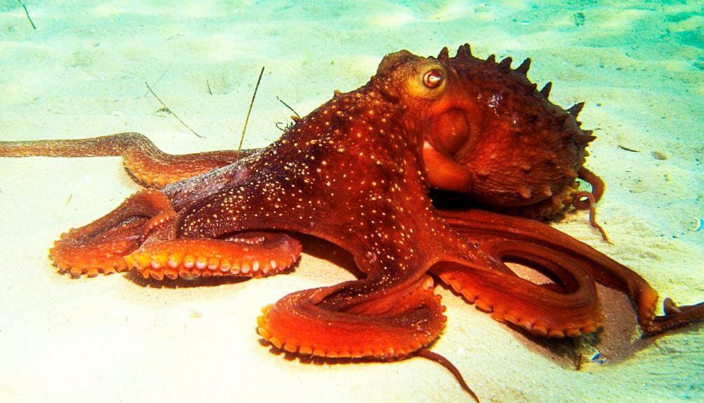 Передвижение по дну осьминога обыкновенного