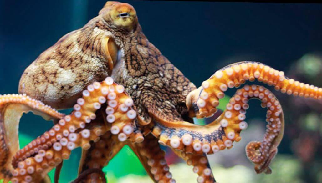 Выход осьминога обыкновенного на охоту