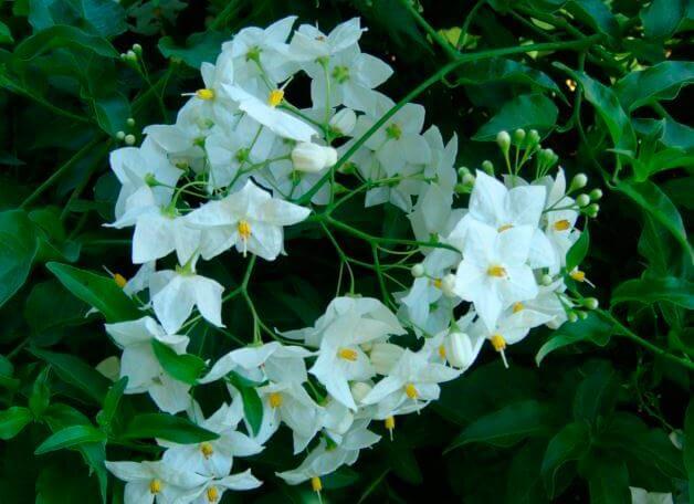 Цветы паслёна