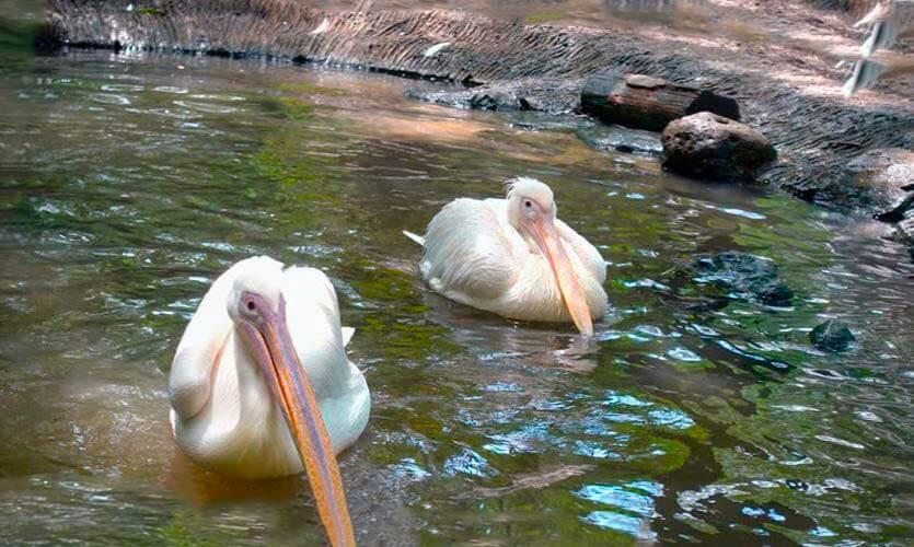Пеликан розовый ловит рыбу