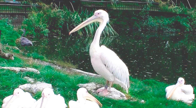 Сообщество пеликанов розовых