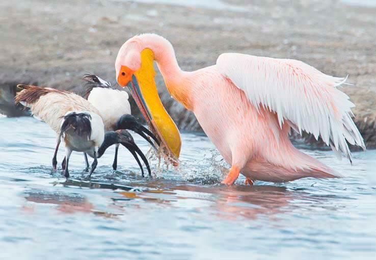 Пеликан розовый фото