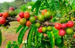 plody kofeynogo dereva 1 Кофейное дерево