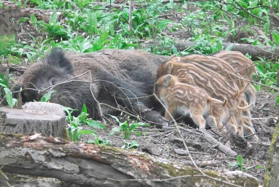 Самка дикого кабана кормит поросят
